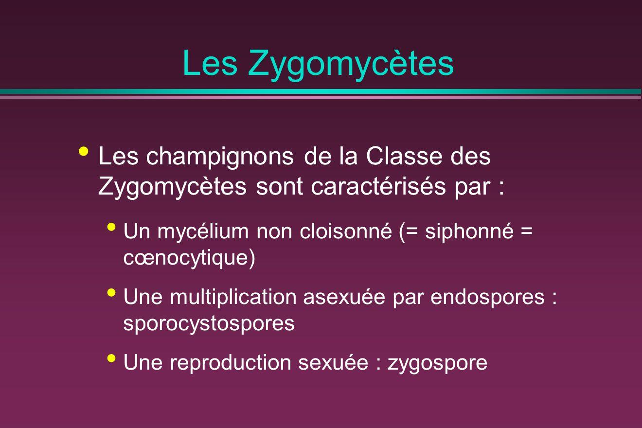 Les Zygomycètes Les champignons de la Classe des Zygomycètes sont caractérisés par : Un mycélium non cloisonné (= siphonné = cœnocytique)