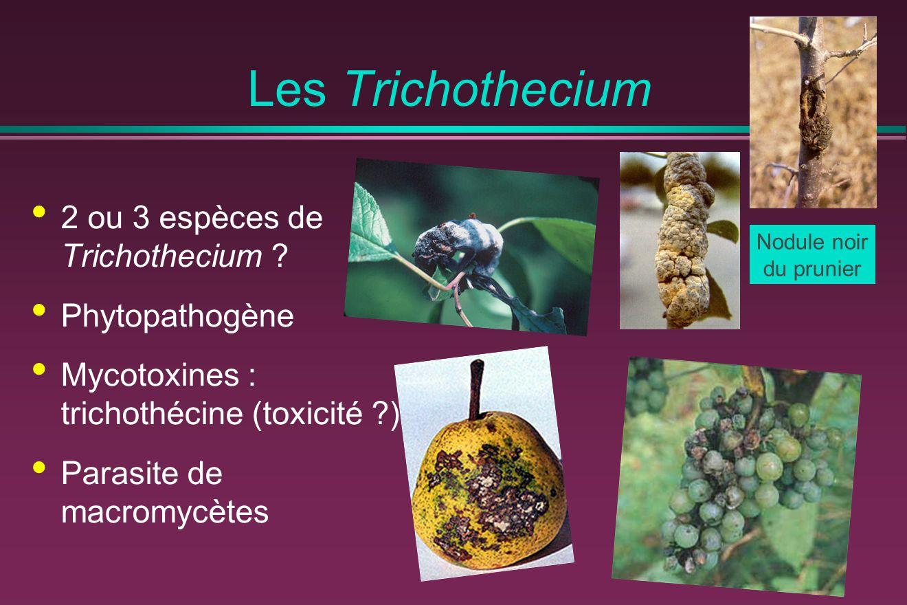 Les Trichothecium 2 ou 3 espèces de Trichothecium Phytopathogène