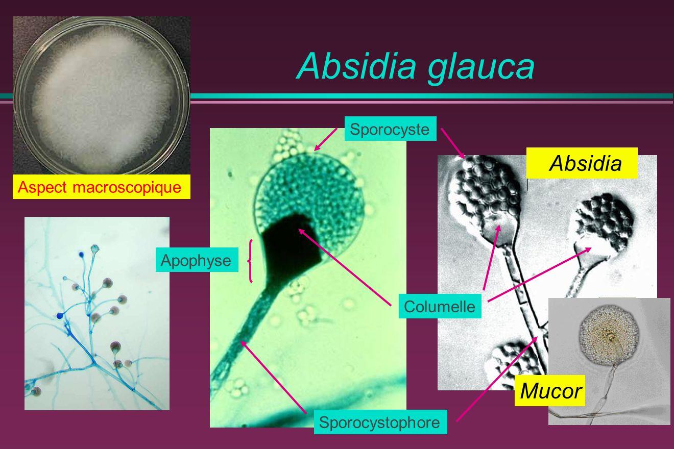Absidia glauca Absidia Mucor Sporocyste Aspect macroscopique Apophyse