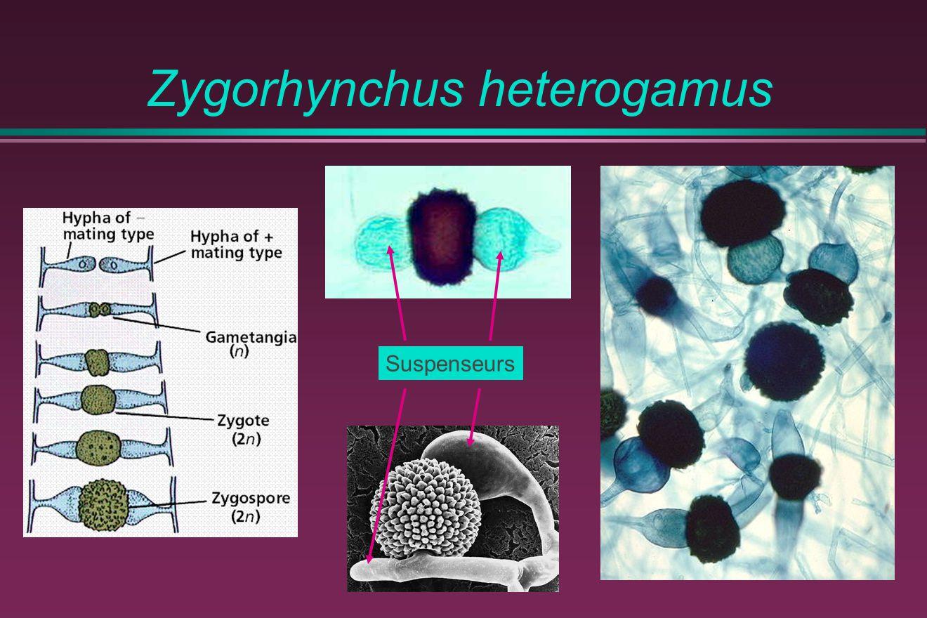Zygorhynchus heterogamus