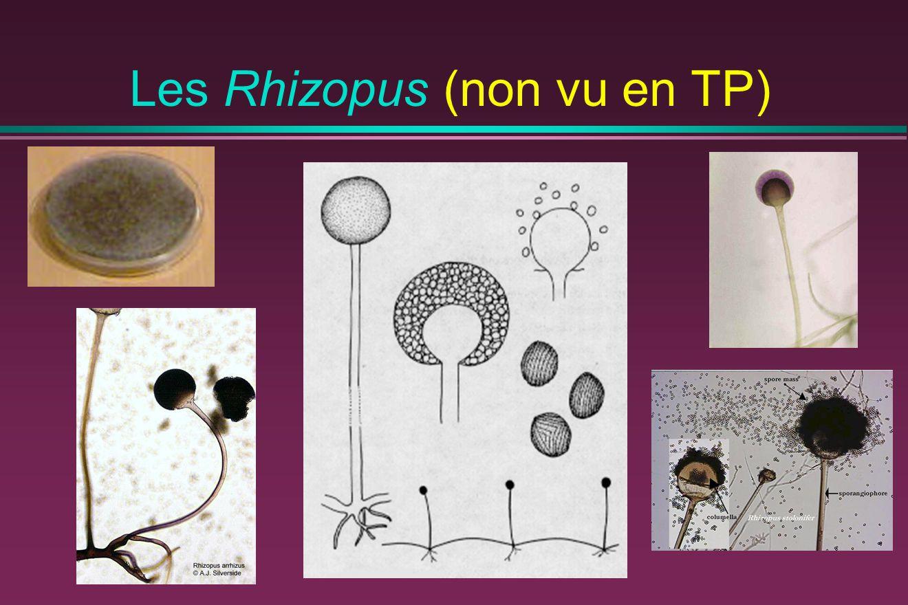 Les Rhizopus (non vu en TP)