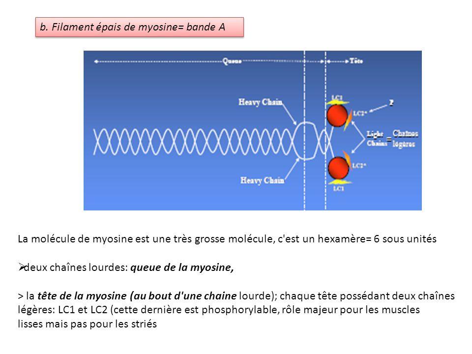 b. Filament épais de myosine= bande A