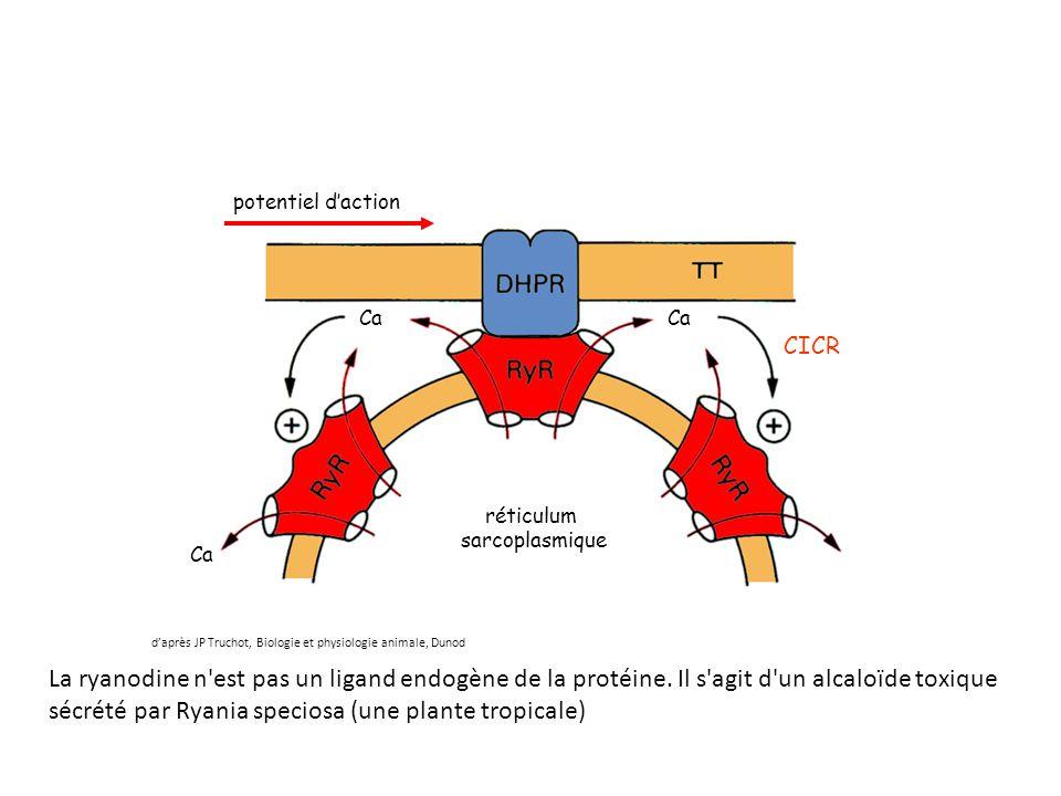réticulum sarcoplasmique. potentiel d'action. Ca. CICR. d'après JP Truchot, Biologie et physiologie animale, Dunod.