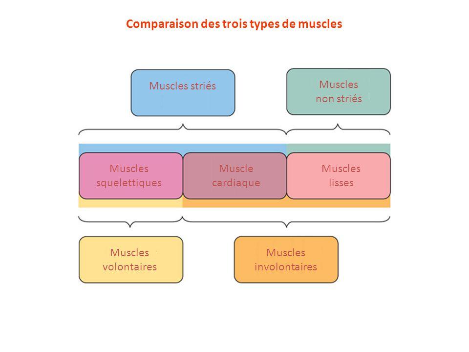 Comparaison des trois types de muscles