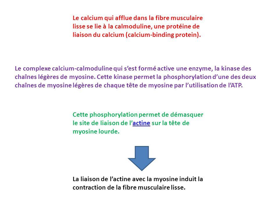Le calcium qui afflue dans la fibre musculaire lisse se lie à la calmoduline, une protéine de liaison du calcium (calcium-binding protein).