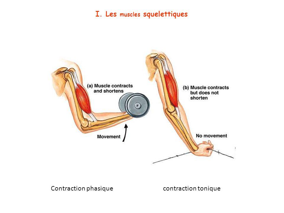 I. Les muscles squelettiques