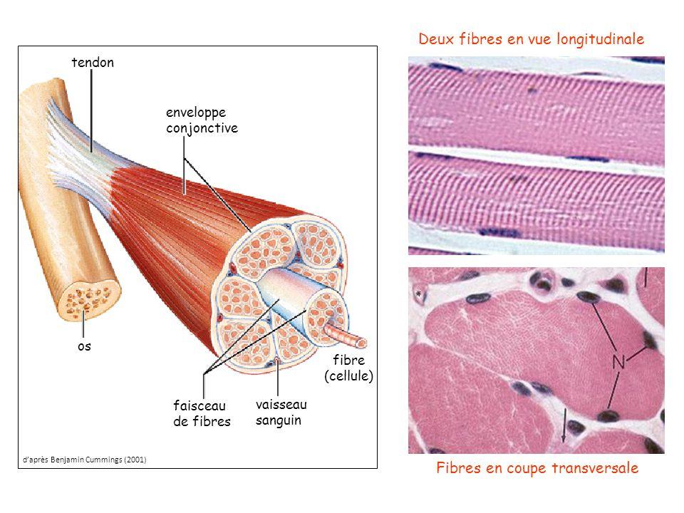 Deux fibres en vue longitudinale