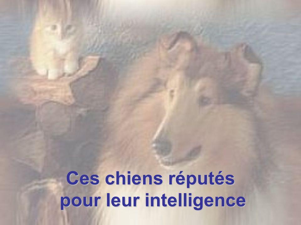 Ces chiens réputés pour leur intelligence