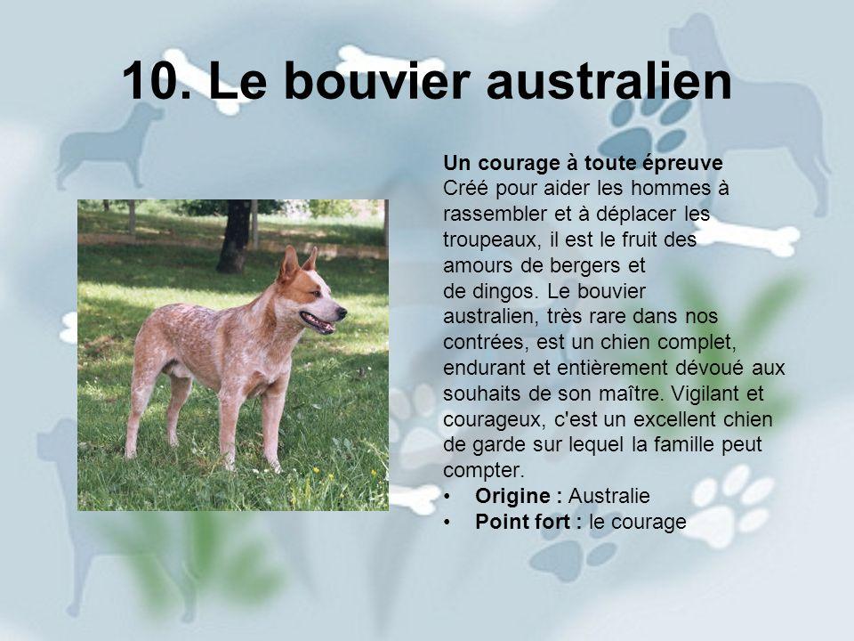 10. Le bouvier australien Un courage à toute épreuve