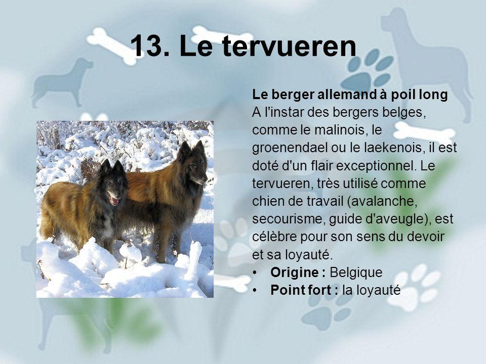 13. Le tervueren Le berger allemand à poil long