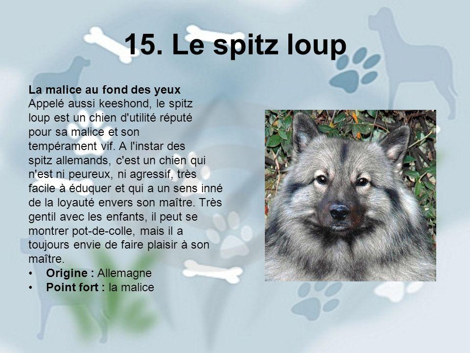 15. Le spitz loup La malice au fond des yeux