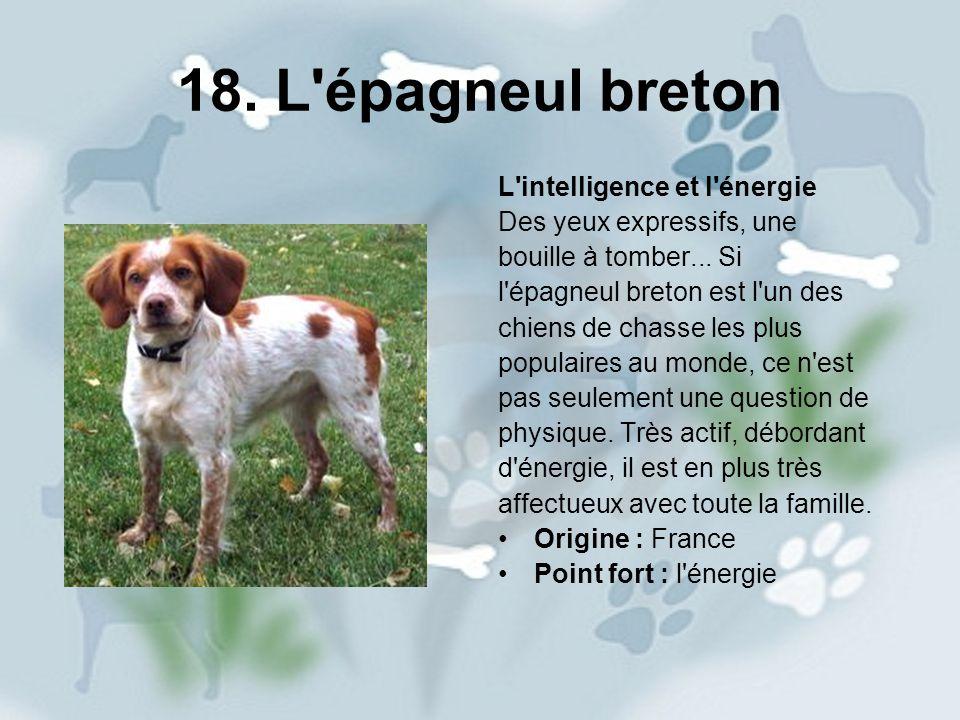 18. L épagneul breton L intelligence et l énergie