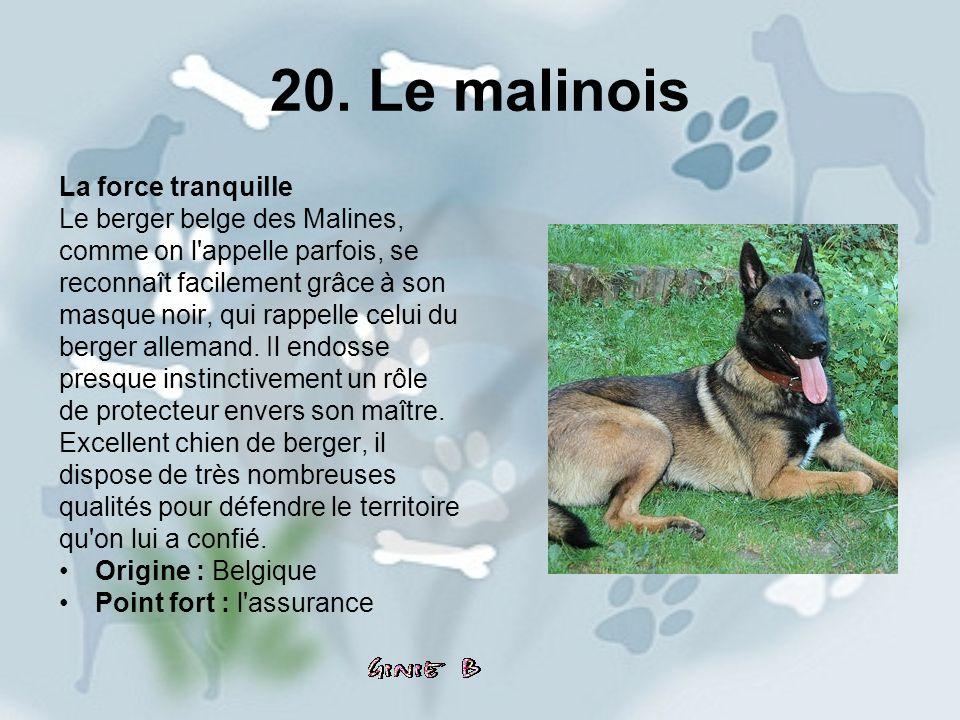 20. Le malinois La force tranquille Le berger belge des Malines,