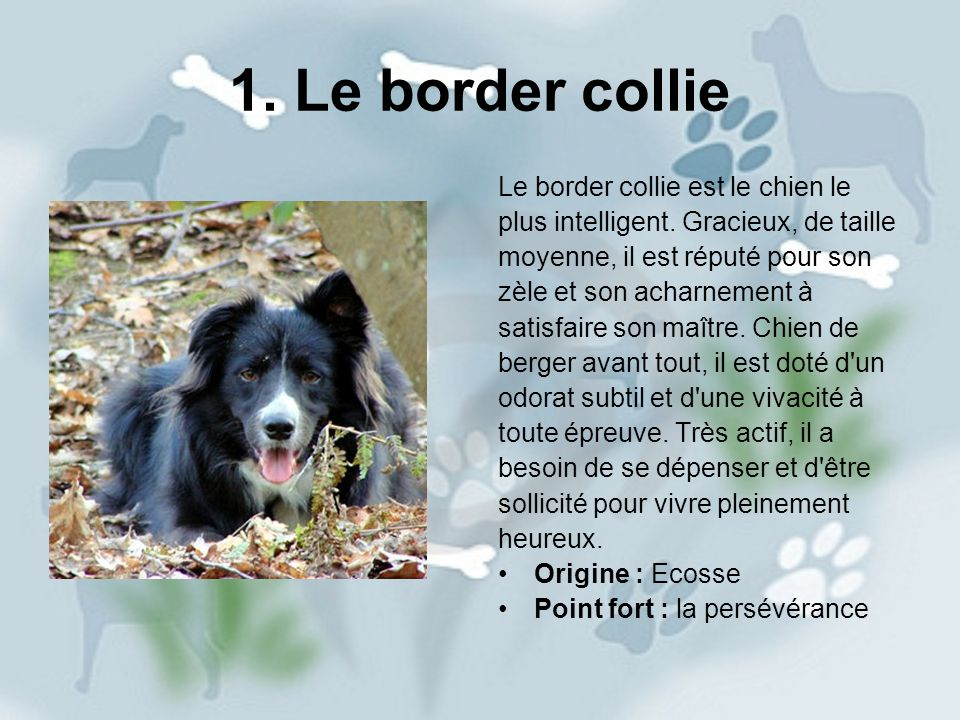 1. Le border collie Le border collie est le chien le