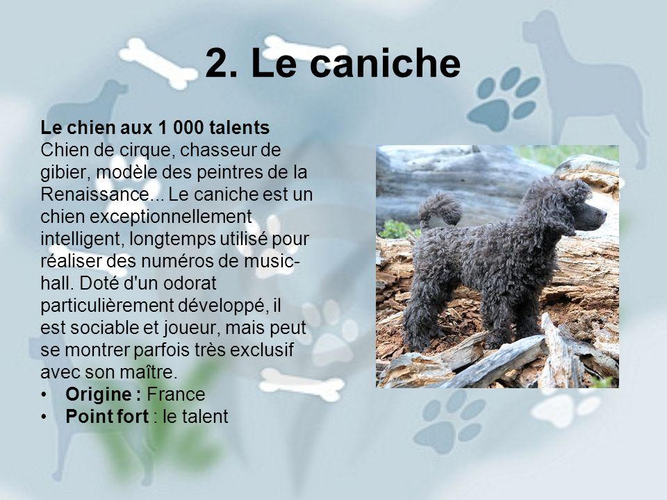 2. Le caniche Le chien aux 1 000 talents Chien de cirque, chasseur de