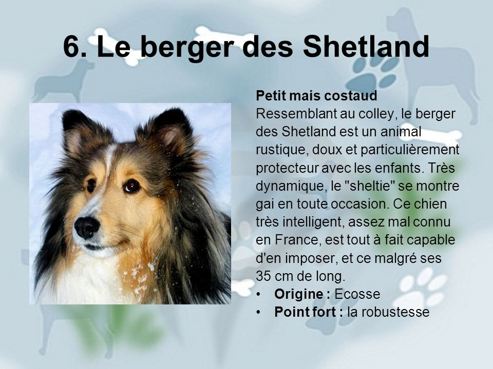 6. Le berger des Shetland Petit mais costaud