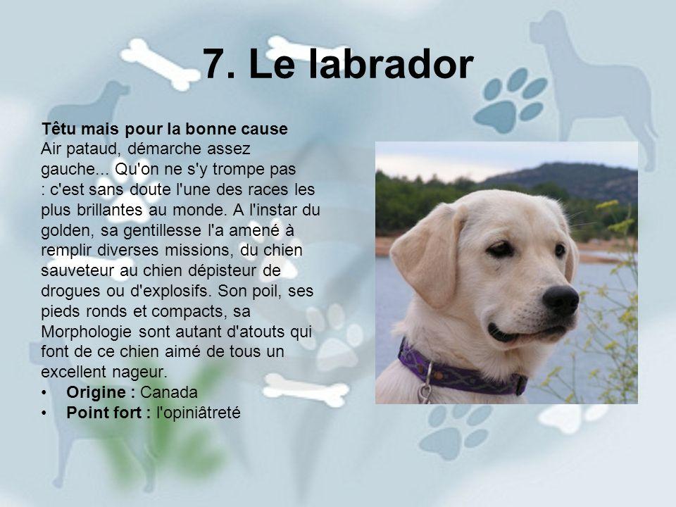 7. Le labrador Têtu mais pour la bonne cause