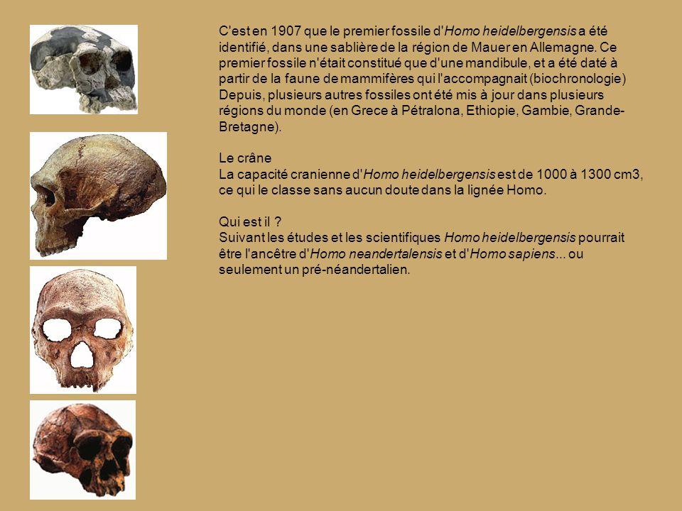 C est en 1907 que le premier fossile d Homo heidelbergensis a été identifié, dans une sablière de la région de Mauer en Allemagne.