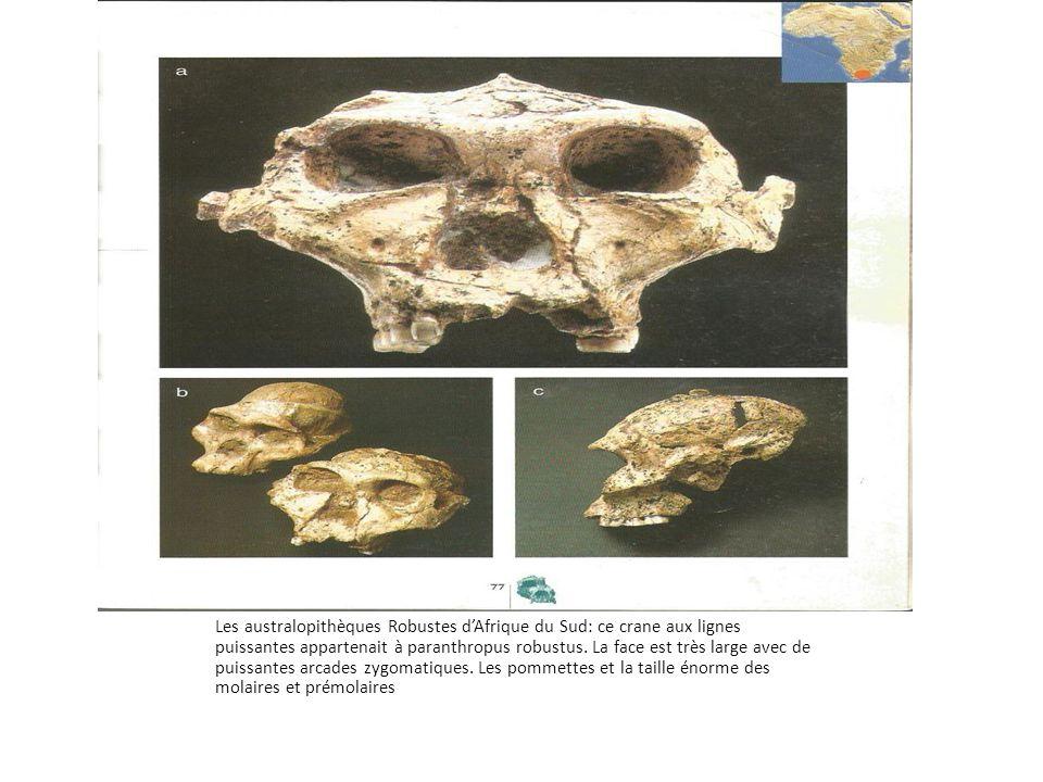 Les australopithèques Robustes d'Afrique du Sud: ce crane aux lignes puissantes appartenait à paranthropus robustus.