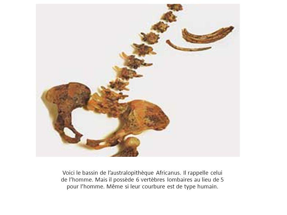 Voici le bassin de l'australopithèque Africanus