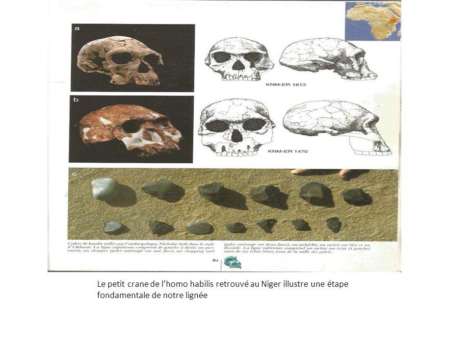 Le petit crane de l'homo habilis retrouvé au Niger illustre une étape fondamentale de notre lignée
