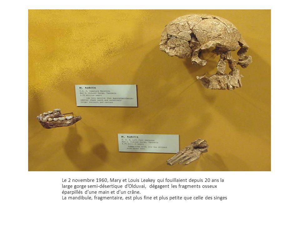 Le 2 novembre 1960, Mary et Louis Leakey qui fouillaient depuis 20 ans la large gorge semi-désertique d'Olduvai, dégagent les fragments osseux éparpillés d'une main et d'un crâne.