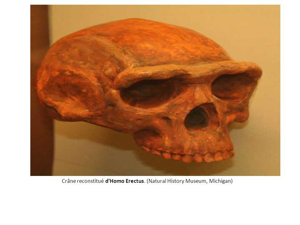 Crâne reconstitué d Homo Erectus. (Natural History Museum, Michigan)