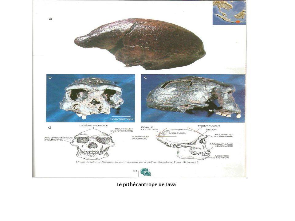Le pithécantrope de Java