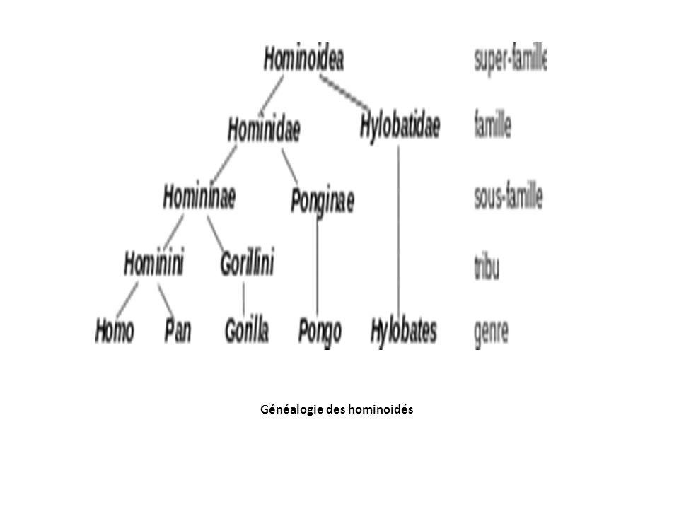 Généalogie des hominoidés