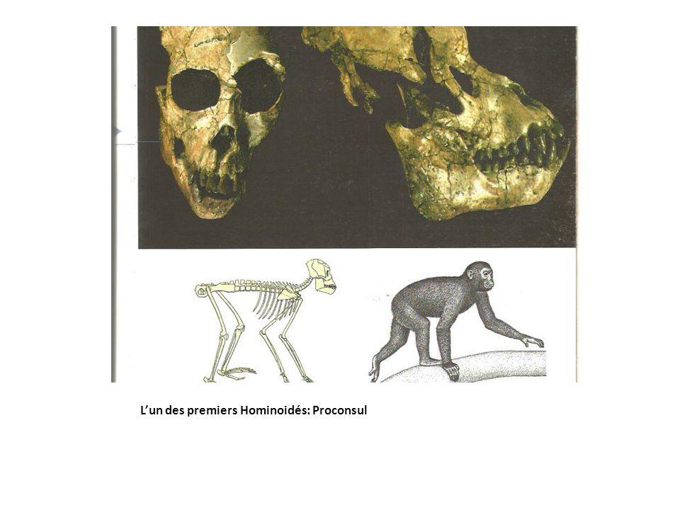 L'un des premiers Hominoidés: Proconsul