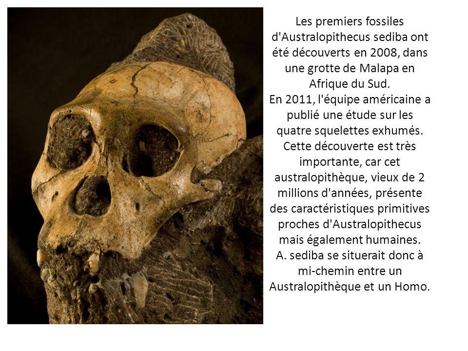 Les premiers fossiles d Australopithecus sediba ont été découverts en 2008, dans une grotte de Malapa en Afrique du Sud.