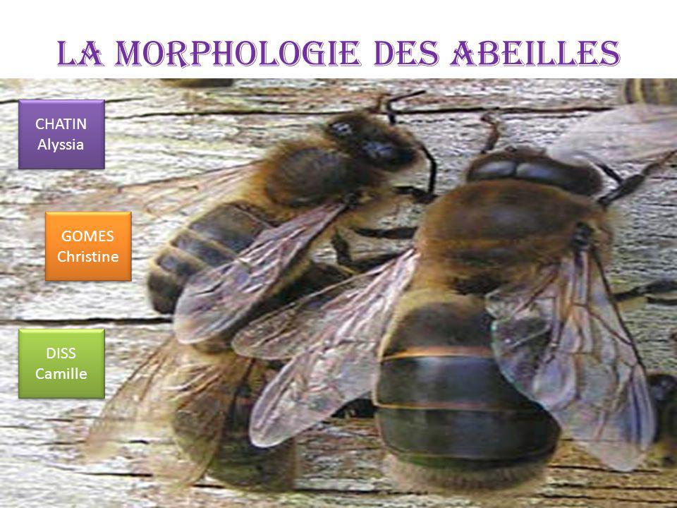 La morphologie des Abeilles