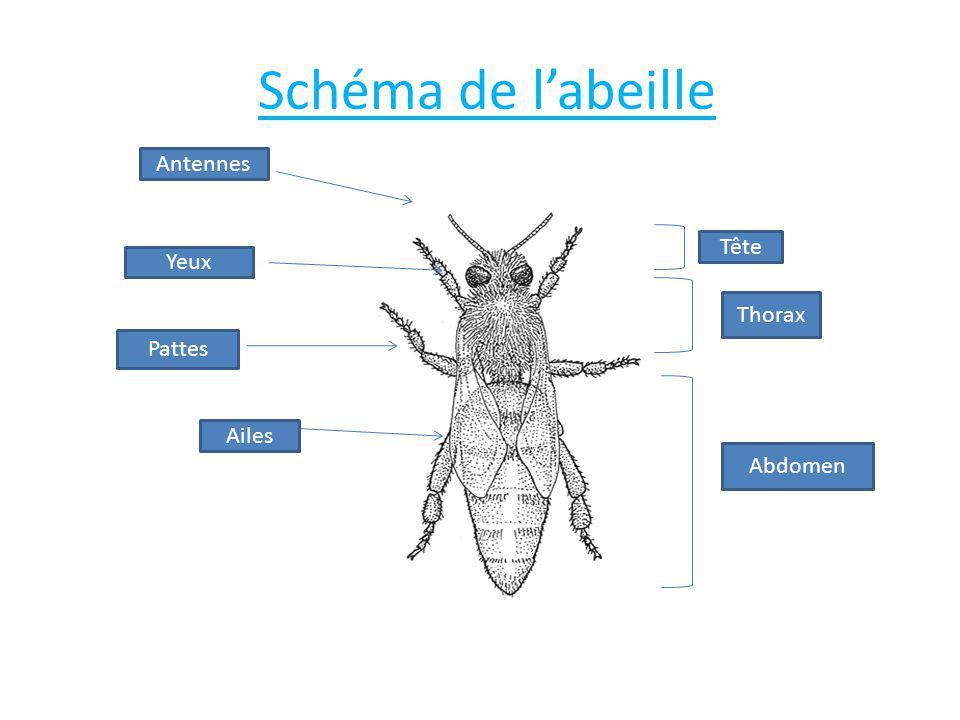 Schéma de l'abeille Antennes Tête Yeux Thorax Pattes Ailes Abdomen
