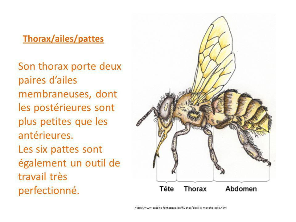 Thorax/ailes/pattes