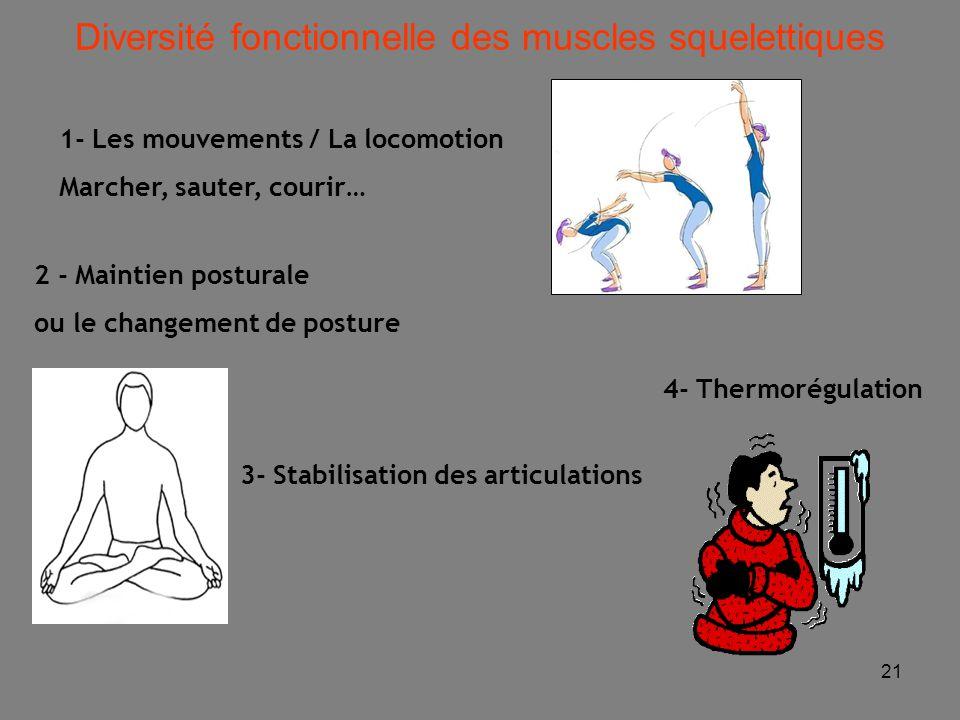 Diversité fonctionnelle des muscles squelettiques