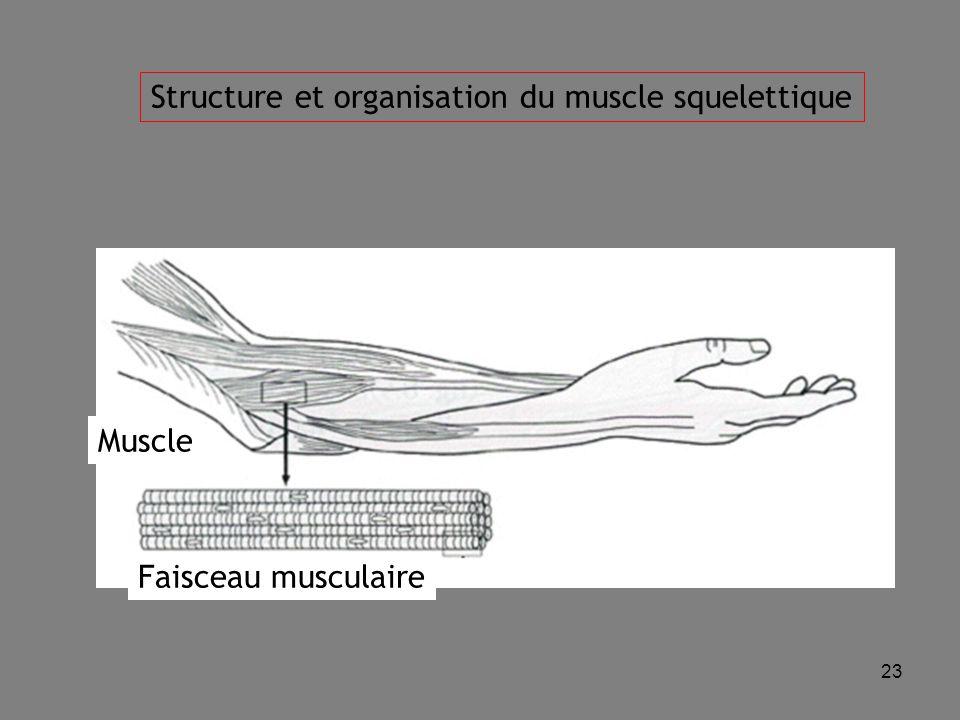 Structure et organisation du muscle squelettique
