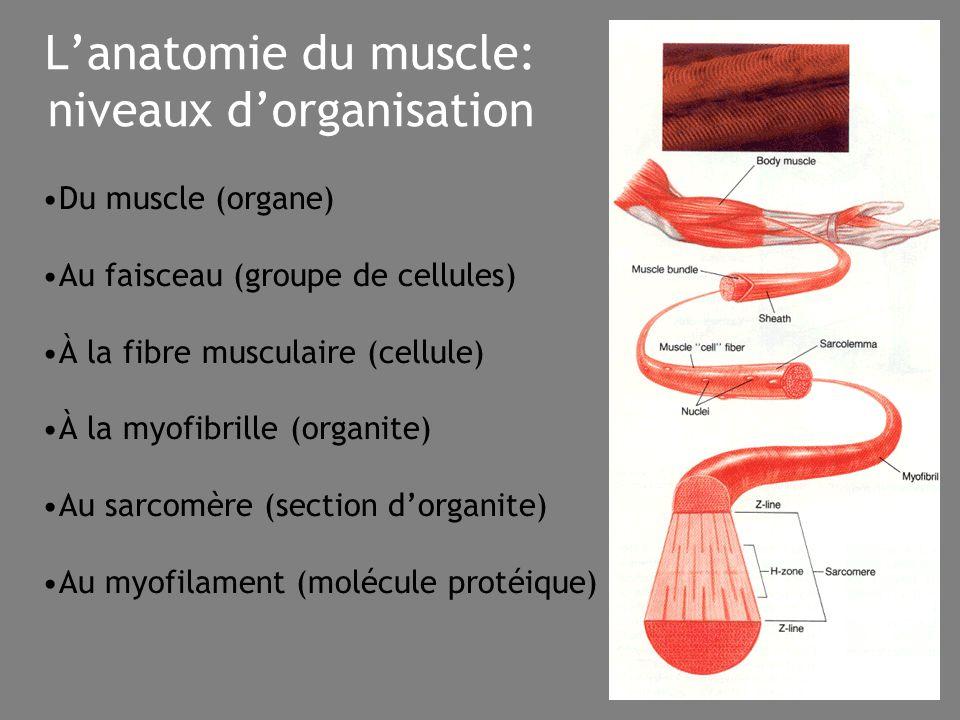 L'anatomie du muscle: niveaux d'organisation