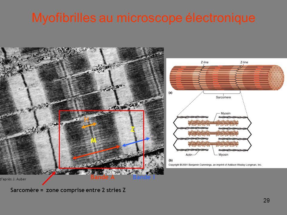 Myofibrilles au microscope électronique