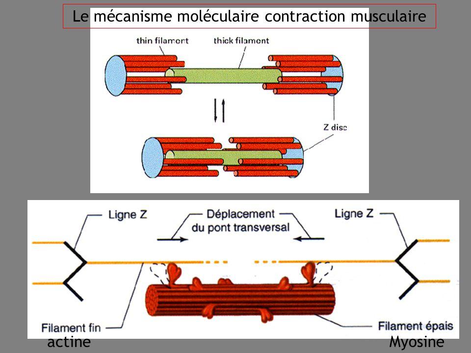 Le mécanisme moléculaire contraction musculaire
