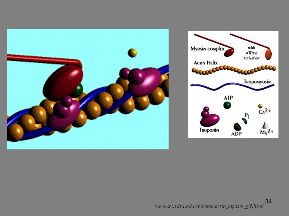 www.sci.sdsu.edu/movies/ actin_myosin_gif.html