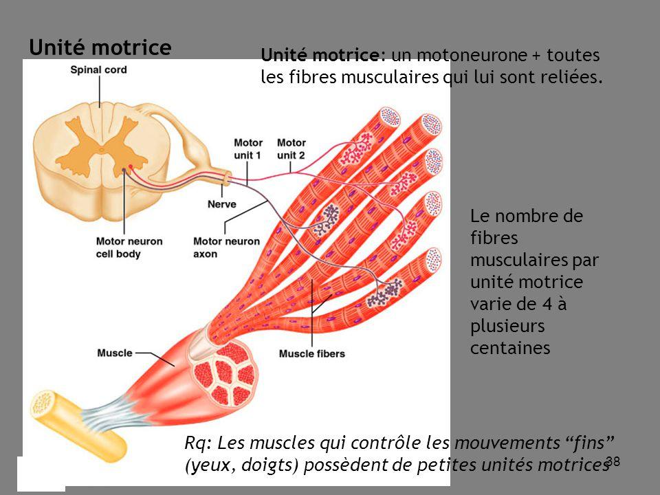 Unité motrice Unité motrice: un motoneurone + toutes les fibres musculaires qui lui sont reliées.