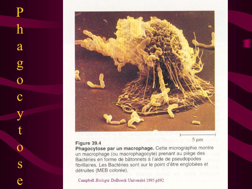 Phagocy t ose Campbell, Biologie, DeBoeck Université, 1995 p852