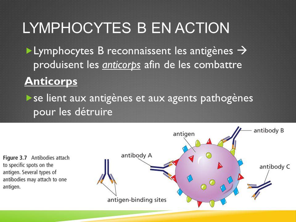 Lymphocytes B en action