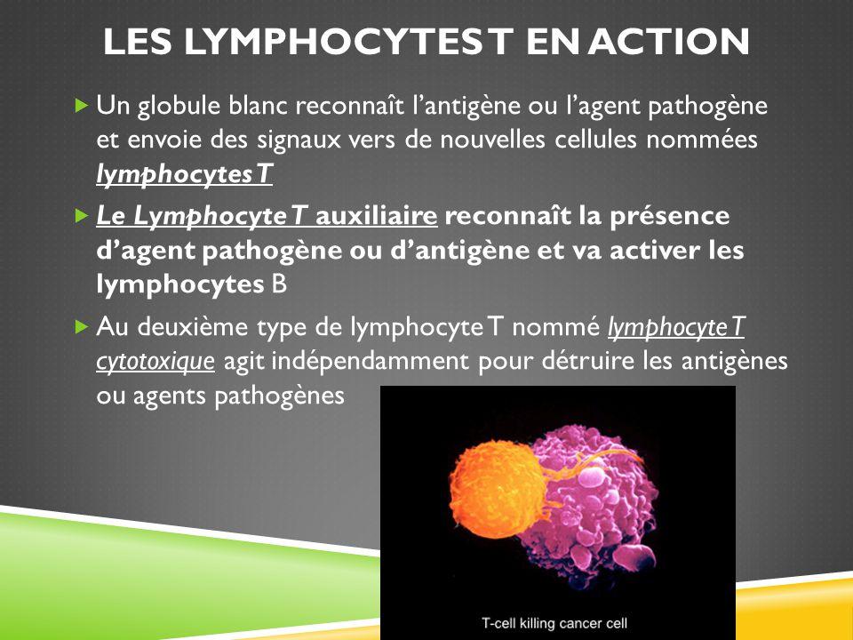 Les lymphocytes T en action