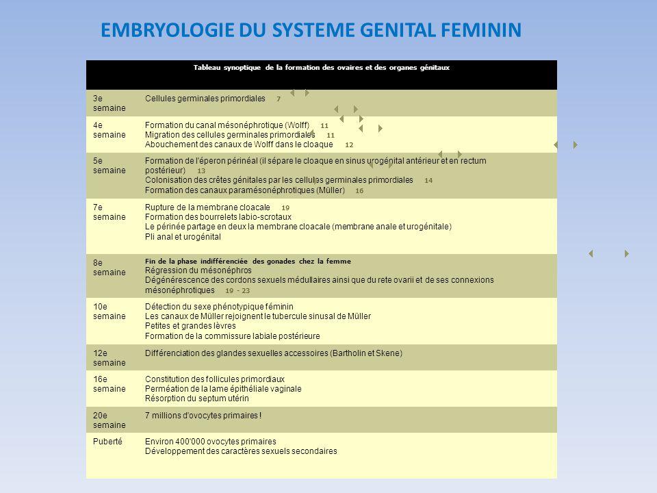 EMBRYOLOGIE DU SYSTEME GENITAL FEMININ
