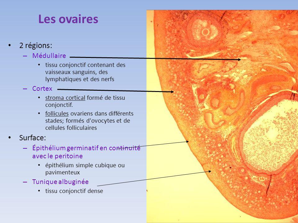 Les ovaires 2 régions: Surface: Médullaire Cortex