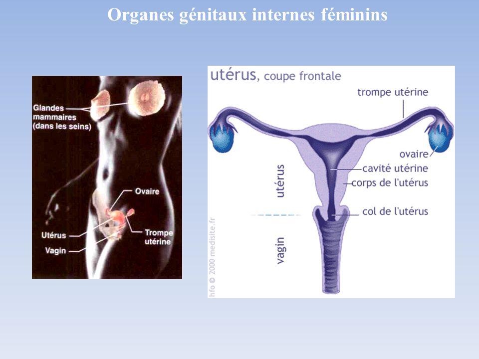 Organes génitaux internes féminins