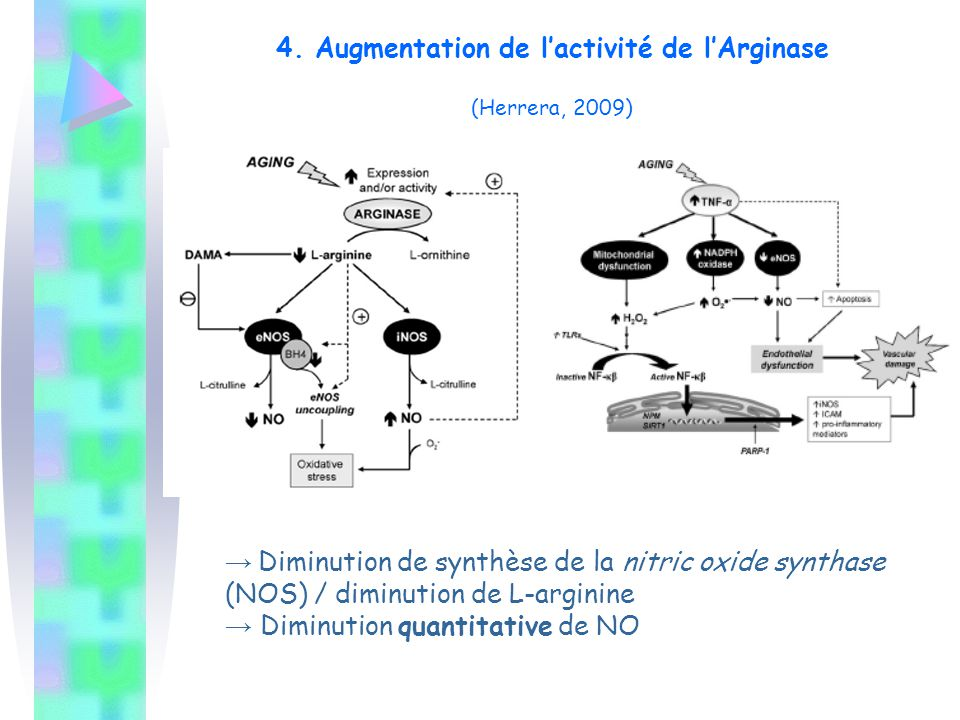 4. Augmentation de l'activité de l'Arginase (Herrera, 2009)