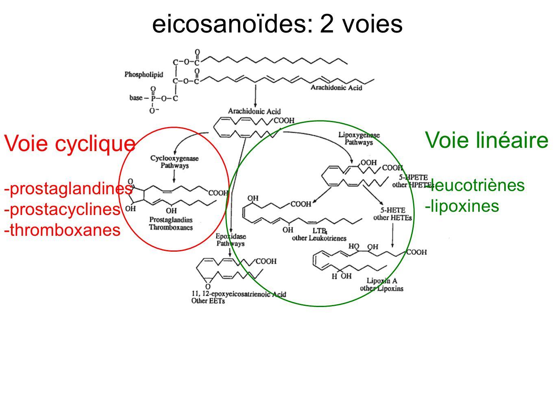 eicosanoïdes: 2 voies Voie linéaire Voie cyclique -leucotriènes