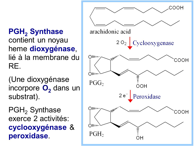 PGH2 Synthase contient un noyau heme dioxygénase, lié à la membrane du RE.